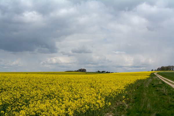 Rape seed in flower