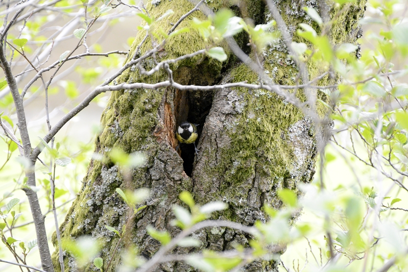 Great Tit nesting